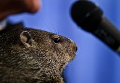 Once a year, Punxsutawney Phil travels to the Pennsylvania Farm Show in Harrisburg, Pa. #GroundhogDay