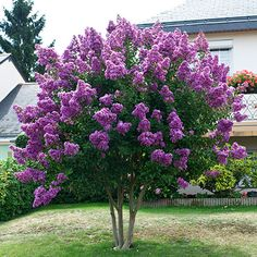 Crape Myrtle - Lagerstroemia Indica 'Natchez' Perennial Flower plant Courtyard Myrtle Tree plant For Home Garden Planting. Product ID: Garden Shrubs, Garden Trees, Shade Garden, Garden Plants, Crepe Myrtle Trees, Lagerstroemia, Lilac Tree, Trees With Purple Flowers, Modern Gardens