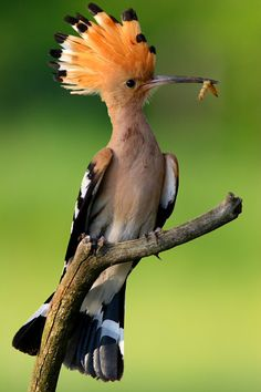 The Hoopoe is a colourful bird that is found across Afro-Eurasia, notable for its distinctive 'crown' of feathers.