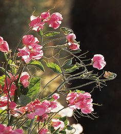 Prized for their intensely fragrant flowers, most sweet peas are 4- to 6-foot-tall vines: http://www.bhg.com/gardening/design/styles/fragrant-plant-favorites/?socsrc=bhgpin031714sweetpea&page=9
