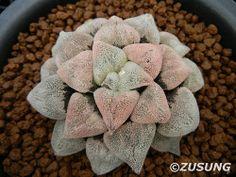 Haworthia pygmaea 'Powder Snow'