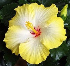 Rare Yellow White Hibiscus Seeds Giant Dinner Plate Fresh Flower Garden Exotic Hardy Flowering Perennial  Tropical *453 454* by ToadstoolSeeds on Etsy