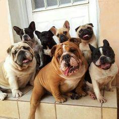 English Bulldog, French Bulldog, Pug