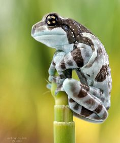 The Amazon Milk Frog, Trachycephalus Resinifictrix, is a large species of arboreal frog native to the Amazon Rainforest in South America.