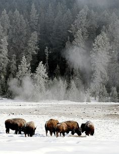 trappersandwoodsmen: Bison in the Yellowstone winter by r.huder