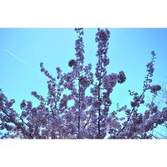 【hannana.7】さんのInstagramをピンしています。 《・ 🌸&✈️ 桜と飛行機雲 ・ 分かるかな?左上に飛行機雲が… ・ いいタイミングで撮れた👍 ・ #江ノ島 #桜 #飛行機雲  #空 #カコソラ #河津桜  #ファインダー越しの私の世界  #カメラ女子 #東京カメラ部 #一眼レフカメラ  #enoshima #japan #sakura #cherryblossoms  #aerialcloud #sky #cloud #myworld  #photo #nikon #nikonworld_ #nikontop  #view #instagramjapan #instagood #tokyocameraclub #timetravel #japan_daytime_view》