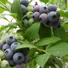30pcs Dwarf Highbush Blueberry Vaccinium Seeds Shrub Fruit Plant For Home