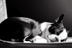 my love boston terrier