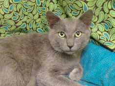 Bendix From Adoption Floor *times up A058068 - 1 YEAR 3 MONTHS, NEUTERED MALE, GRAY DOMESTIC SH MED DUE OUT BY 08/12/2013 YORK, SC RESCUE ASAP York County Animal Shelter 713 Justice Blvd York, SC 29745 Must have a commitment by closing time the day due out. SHELTER HRS: 9:00am – 5:00pm Mon – Fri 9:00am – 12:30pm Sat SHELTER PHONE: 803-628-3190  SHELTER CONTACTS: tracy.morgan@yorkcountygov.com and caroline.stewart@yorkcountygov.com. Refer to the animal's I.D. number when contacting the…