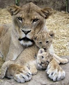 Lion mother and cubs , someone looks thrilled. lol