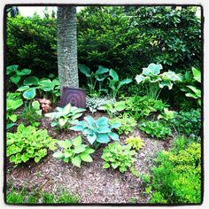 My spring Hosta Garden -- don't know why somebody's FACE is in the garden... but like the diff colors/layers