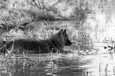 Valo the Belgian shepherd preparing to launch into forest pond