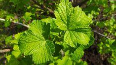 V júni zbieram tieto lístky, pretože majú najväčšiu silu: Kto ich má v kuchyni, nebojí sa chorôb celý rok! Plant Leaves, Herbs, Leto, Plants, Herb, Plant, Planets, Medicinal Plants