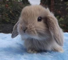I dont know what you mean call call text email whatever.ill text you.give me I had no idea if this is the case. Mini Lop Bunnies, Mini Lop Rabbit, Dwarf Bunnies, Cute Baby Bunnies, Rabbit Baby, Baby Animals Super Cute, Cute Little Animals, Cute Funny Animals, Cute Bunny Pictures