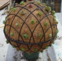 Two wire baskets tied together with succulents planted all around the outside will grow into a beautiful sphere!