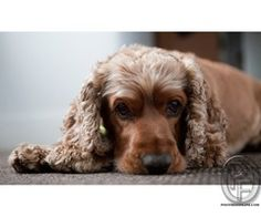 Beautiful and cute cocker spaniel dog puppies available for sale in Mumbai, Maharashtra, India in Pet Animals And Accessories category under budget Check with seller