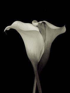 Lily studies, by Dorothy Freudenberg
