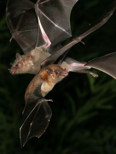 Arizona's Lesser Long-nosed Bats (Leptonycteris curasoae yerbabuenae). Nectar lovers and pollinators. And frequent night-time hummingbird feeder visitors.