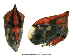 Membracidae Gen sp80