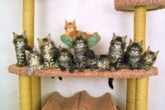 ten kitties of the sort maine coon peer into one direction Stock Photo - 5909916