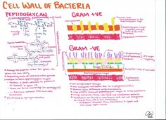Cell Wall of Bacteria