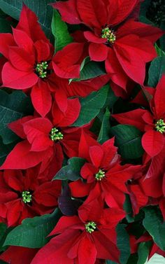 "No plant says ""Merry Christmas"" like a poinsettia. Learn more about the history and proper care of this holiday favorite. Decorations Christmas, Christmas Flowers, Noel Christmas, Christmas Colors, Christmas Poinsettia, Christmas Kitty, Primitive Christmas, White Christmas, Euphorbia Pulcherrima"