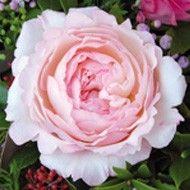 Cut Roses - David Austin Roses  Keira (Ausboxer)