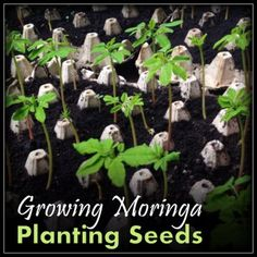 Growing moringa is not that hard as long as you remember some important things which trip people up.