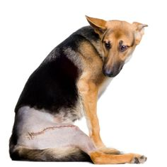 Hip Dysplasia in Dogs is a serious issue. You can help your dog with this product: http://www.amazon.com/Condrobest-Supplement-Glucosamine-Chondroitin-Hyaluronic/dp/B00QXUCIQ0/ref=sr_1_14?ie=UTF8&qid=1427327223&sr=8-14&keywords=liquid+glucosamine