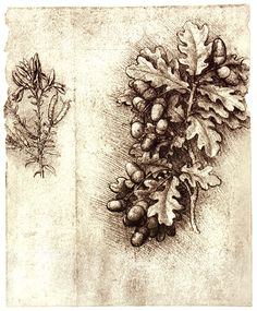 Leonardo Da Vinci (Italian, 1452-1519) ~ Oak Leaves And Acorns ~ Red chalk drawing of a spray of oak leaves with cluster of acorns. Note the mastery with which the weight and the density of the spray are portrayed ~ Windsor Royal Collection