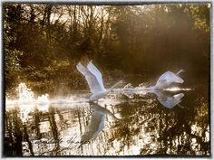 Swan takes flight in Doneraile Park February 2018 Professional Wedding Photography, Cork Ireland, Swan, February, Landscapes, Park, Painting, Paisajes, Swans