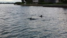 When looking to spot Dolphins around Anna Maria Island look for their dorsal fin above the water surface.