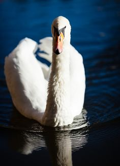 Mute swan posing to the photographer. Mute Swan, Home Pictures, Fine Art Photography, Close Up, Swimming, Poses, Stock Photos, Swans, Image