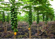 Papaya tree - How to grow & care Papaya Plant, Papaya Tree, Growing Fruit Trees, Growing Plants, Hydroponic Strawberries, Prune Fruit, Home Grown Vegetables, Weed Seeds, Potted Trees