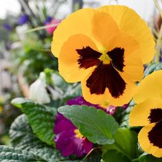 Still plenty of colour to be had... #longacres #gardencentre #bagshot #surrey #pansy #colour #british #autumn #autumncolour #plants #horticulture #yellow #naturephotography #closeup #gardening #shopping