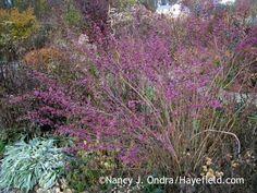 Callicarpa dichotoma Issai Nov 17 07