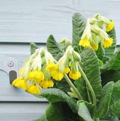Cowslips are a fave in the garden from late Feb onwards. Sometimes lasting the whole of Spring. Learn more about the plants I grow on my garden tracking page: www.myfolia.com/gardener/CDfolia/invite it's my favourite gardening site.