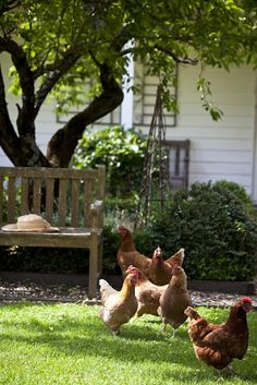 Look how quaint, wee chickens are in the yard.....................Oh, they're chasing me.