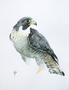 Buy Falco peregrinus (Peregrine Falcon), Watercolour by Andrzej Rabiega on Artfinder. Discover thousands of other original paintings, prints, sculptures and photography from independent artists. Watercolor Paintings Of Animals, Watercolor Bird, Original Paintings, Paintings For Sale, Bird Drawings, Animal Drawings, Art Aquarelle, Peregrine Falcon, Bird Artwork