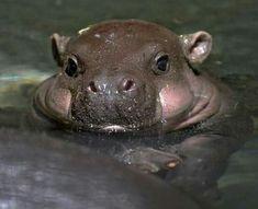 Baby Hippopotamus.