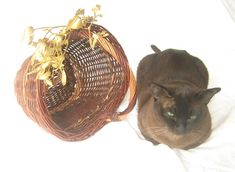 Burmese tomcat looks down with wicker basket decorated with mistletoe Burmese, Mistletoe, Wicker, Photo Editing, Basket, Stock Photos, Creative, Pictures, Inspiration