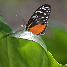 Heliconius hecale ingesting pollen in the sun - Flickr - Photo Sharing!