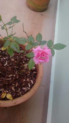 Flor rosa no jardim minas