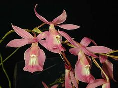 Andy's Orchids - Orchid Species - Barkeria - vanneriana (lindleyana ssp)