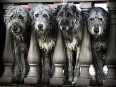 Big Dogs, I Love Dogs, Cute Dogs, Dogs And Puppies, Doggies, Beautiful Dogs, Animals Beautiful, Cute Animals, Irish Wolfhound Puppies