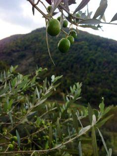 Olives at Caimeli