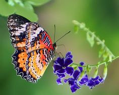 """""""Dressed in Lace"""" by Nikolyn McDonald is a beautiful capture of a leopard lacewing (Cethosia cyane) butterfly on a purple flower.  The soft background sets its details off perfectly and the green of the foliage behind it complements its orange wings. butterflies,insects,garden,nature,macros,colorful,color,lepidoptera,spring,summer,close-up,natural,delicate,beauty,tropical,view,views,side,horizontal,silent,silence,quiet,quietness,calm,calmness,nikki,nikolyn,mcdonald"""