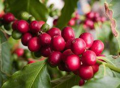 Cómo Secar Café Natural en Camas Elevadas