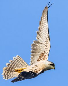 For real? Falcons in Brussels? Follow their day-to-day life through live-cameras and fly free!