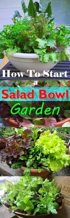 Limited space can't stop you from growing food, you can start a salad bowl garden and grow your own salad. Learn how!